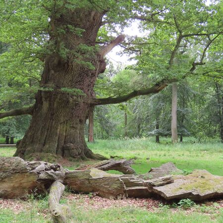 Very old oak trees in a park in Mecklenburg western Pomerania at Standard-Bild