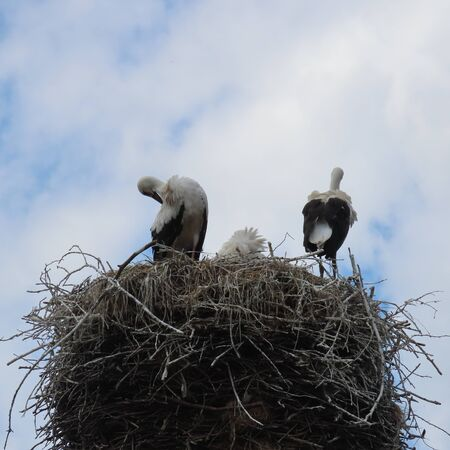 birds, storks in nest in open nature with their young