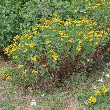 Tanacetum vulgare, a rainfarm yellow in summer blooming old medicinal herb