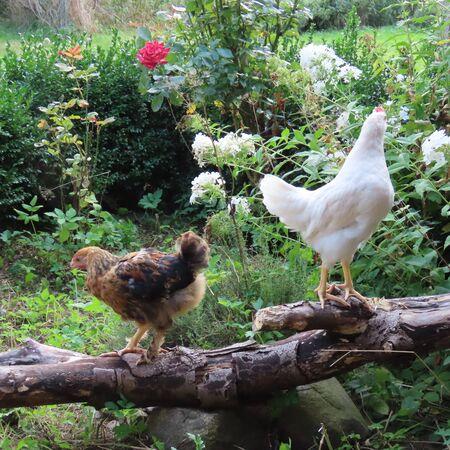 Happy chicken chicks are playing on the farm Standard-Bild