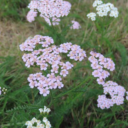 Achillea, white flowering medicinal plant Standard-Bild