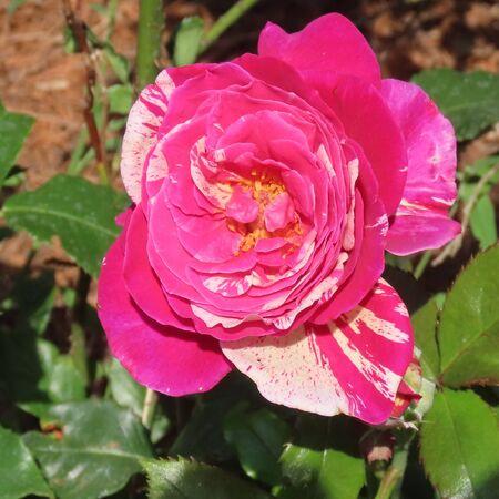 roses bloom fragrantly in the summer garden Standard-Bild