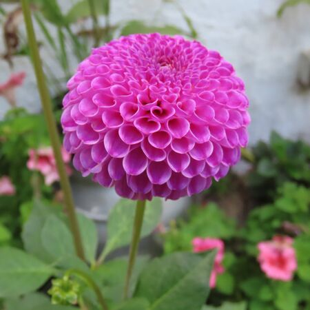 Dahlias bloom almost all summer until late in the fall Standard-Bild