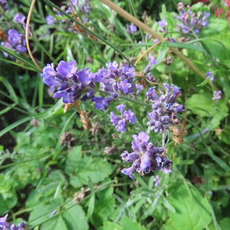many small purple flowers of the scented lavender bush