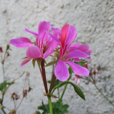 Pink flower of a geranium