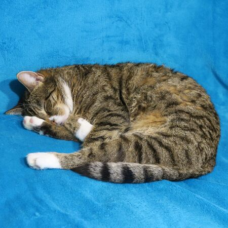 gray striped cat, with white paws, sleeps on a blue blanket