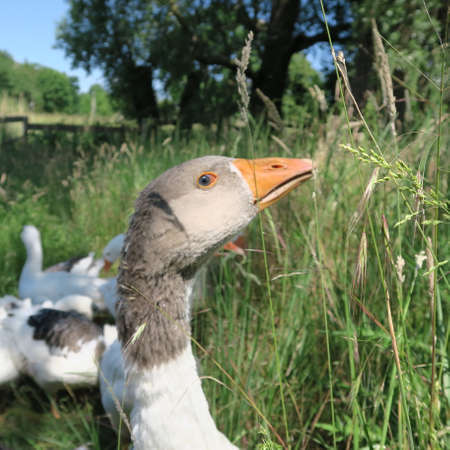 live gray and white geese, eat green grass in summer in nature Standard-Bild