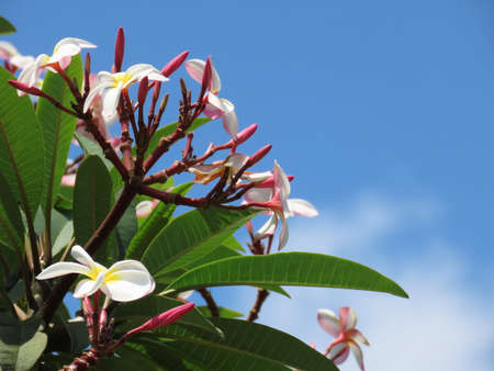 Plumeria rubra, Asian flower, Frangipani against a blue sky