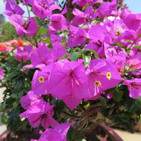 Bougainvillea, triplet flower, Mediterranean flowering plant