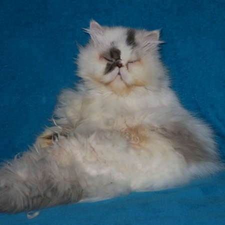 old white fat persian cat Standard-Bild