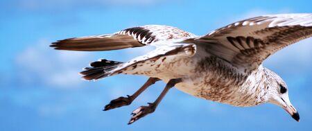 トリミング半ばに飛行中のカモメ 写真素材