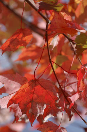 Colorful l transparent leaves in Quebec forests, Canada  at the peak of fall foliage. Close up on the foreground leaves. Beautiful background