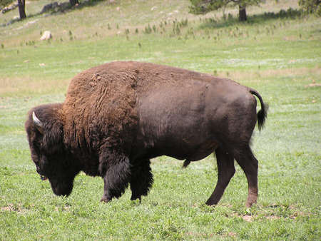 Buffalo or bison in Black Hills - Custer State Park,South Dakota , USA Imagens
