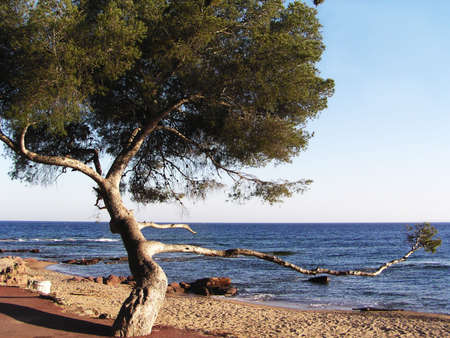 A majestic and lonely tree stooped with age and waves on the beach of French Riviera, Cote Azur, France