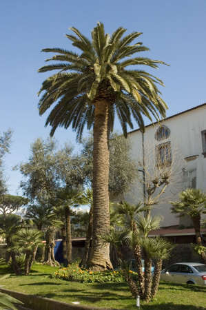 meta: Giant and small  palm trees in Meta di Sorrente park, Italy  Stock Photo