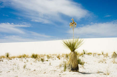 A soapweed yucca (Yucca glauca ) plant  in the blue sky  of  White Sand National Monument, New Mexico   photo