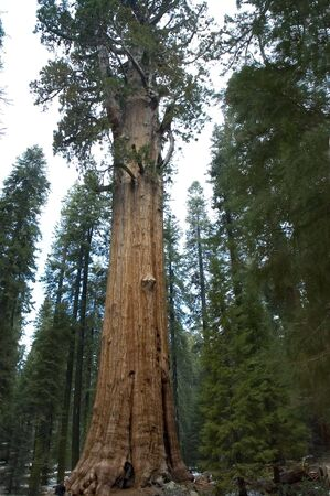 The General Sherman Tree, worlds largest living tree,age 3,200 years, height 311 feet, Sequoia National Park, California, USA (the base is 40 feet diameter)