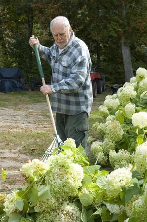 Gardener elderly man raking his garden