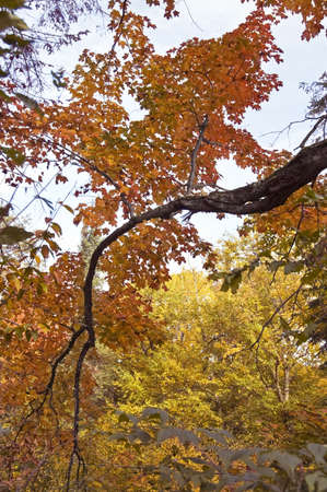 maple trees: Autumnal fairy of colored maple trees in Quebec country, Canada