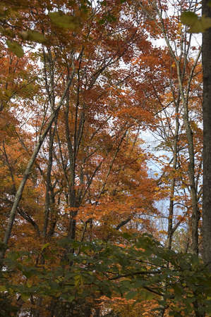 autumnn: Autumnal fairy of colored maple trees in Quebec country, Canada