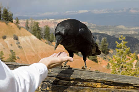 corax: Close up of a great raven in Bryce Canyon, USA,  eating on tourist hand.