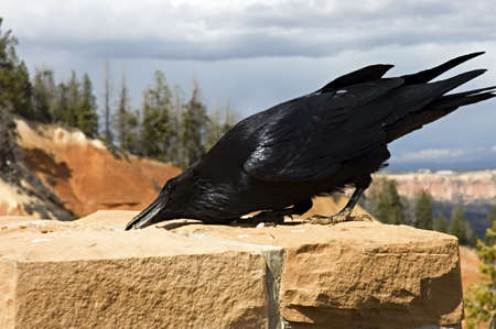 corax: Close up of a great raven taking its lunch  in Bryce Canyon, USA,