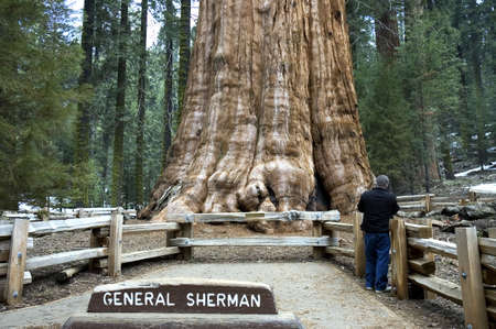 The General Sherman Tree, worlds largest living tree, in Sequoia National Park, California, USA Imagens