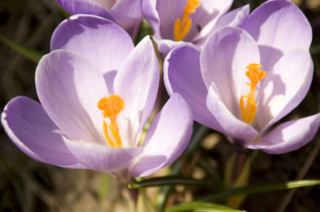 The first Crocus flowers at Spring time in Quebec, Canada photo