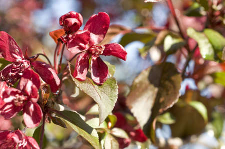 macro picture of a red apple blossom flower Stock Photo - 3146576