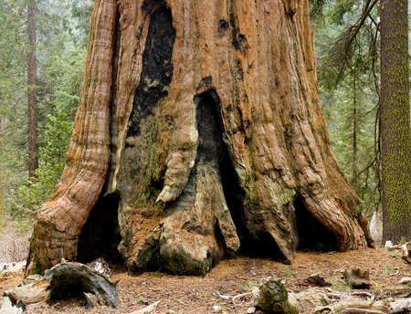 Survival Sequoia tree in National Park, among the ones who burn, Sequoia National Park, California
