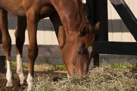 chestnut horse outside the stable,  eating hay