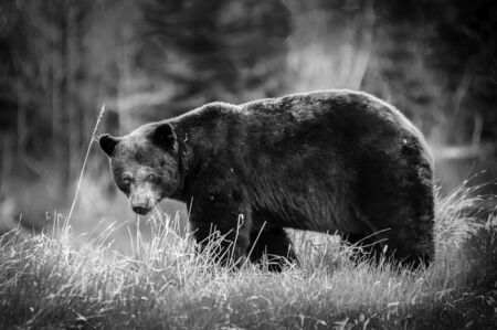 grizzly bear Ursus arctos horribilis closeup walking into the  Red Rock Canyon Parkway,Waterton Lakes National Park, Alberta, Canada