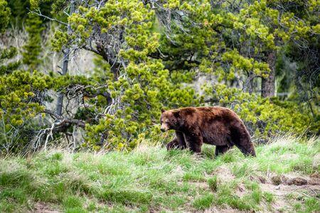 Begegnung mit einem Grizzlybären Ursus arctos horribilis auf einer Spur in Waterton Nationalpark, Alberta, Kanada
