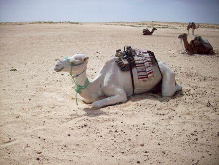 Camel dromedary, Tunisia Desert Archivio Fotografico
