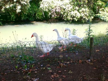 River goose, Tuscany, Italy.
