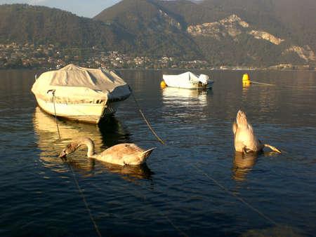Lake Iseo, boats and swans