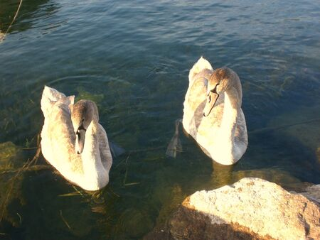 Lake Iseo, swans