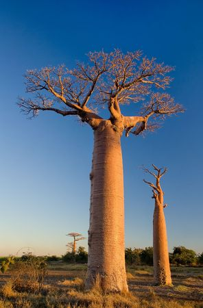 Baobab tree, Madagascar 版權商用圖片