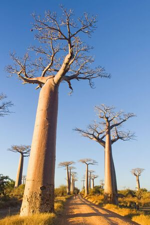 Baobab trees from Morondava, Madagascar photo
