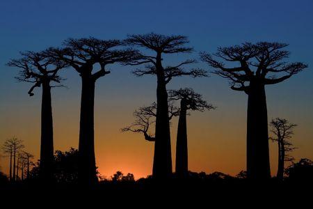 Coucher de soleil et baobabs arbres, Madagascar
