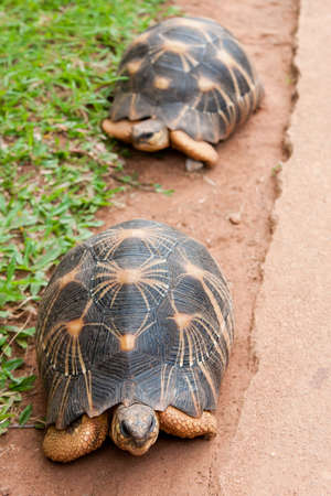 radiated: The radiated tortoise, endemic from south of Madagascar Stock Photo