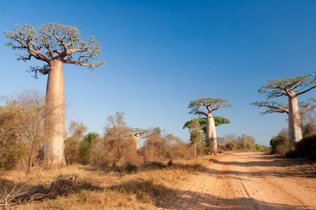 Baobab trees and sandy road from Morombe, Madagascar photo