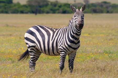 Zebra in the african savannah photo