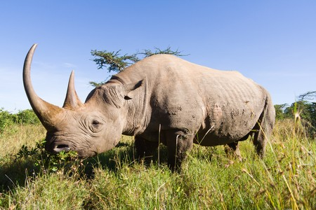 masai: Rhinoceros in the african savannah
