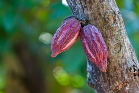 Cocoa pods from Ambanja, Madagascar Stock Photo