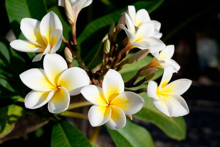 Three flowers of frangipani (plumeria), tropical flower
