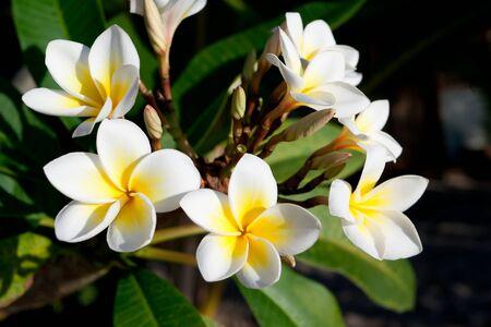 Three flowers of frangipani (plumeria), tropical flower