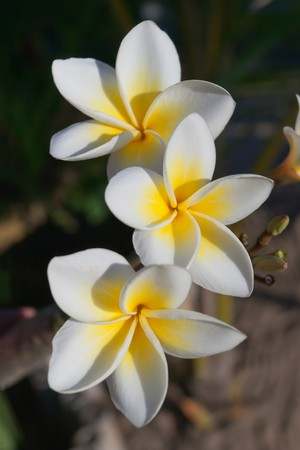 Three flowers of frangipani (plumeria), tropical fower