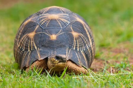 radiated: The radiated tortoise, endemic turtle from south of Madagascar Stock Photo