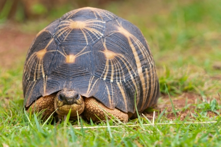 slow motion: The radiated tortoise, endemic turtle from south of Madagascar Stock Photo